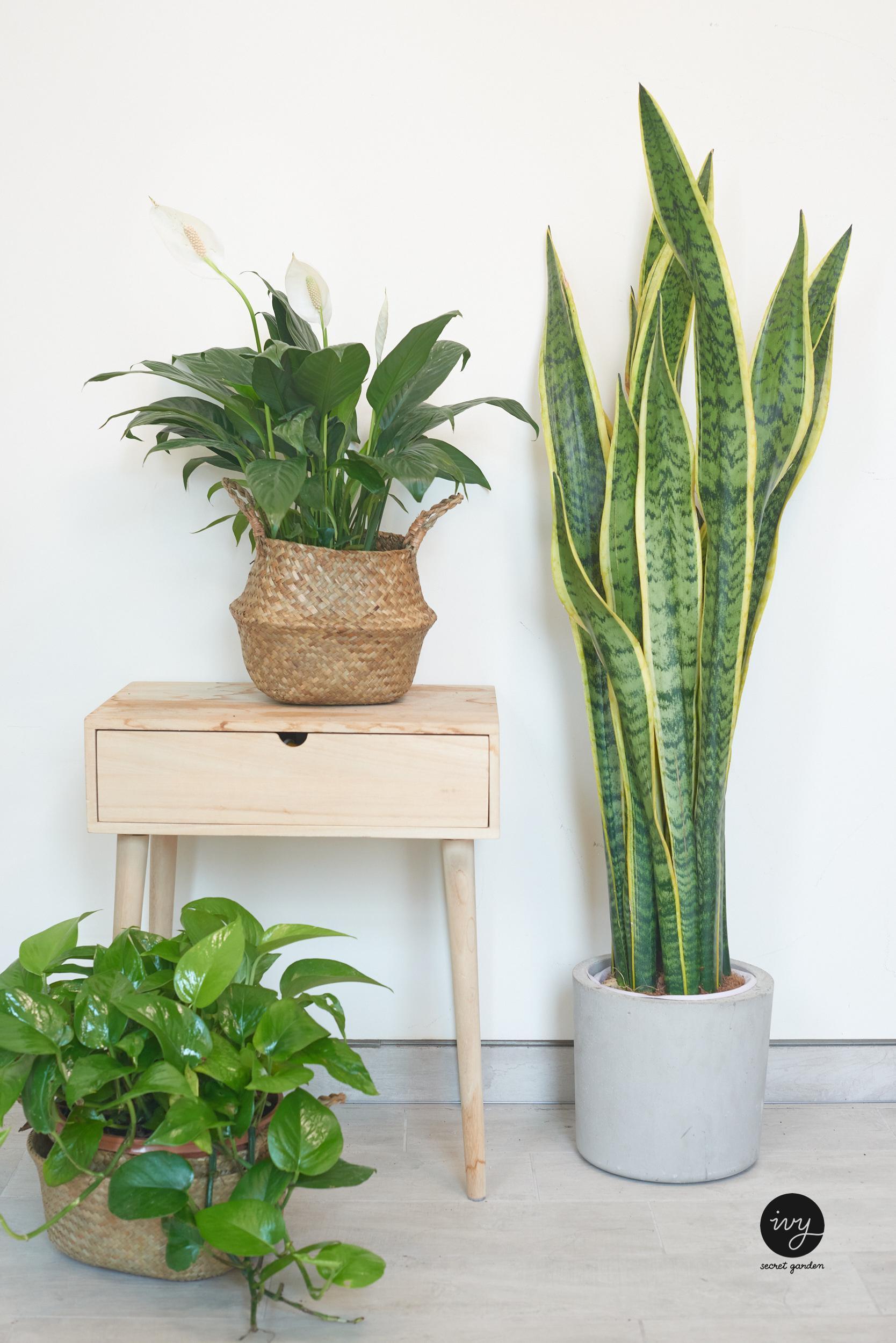 Plant bundle- peace lily, big snake plant, money plant