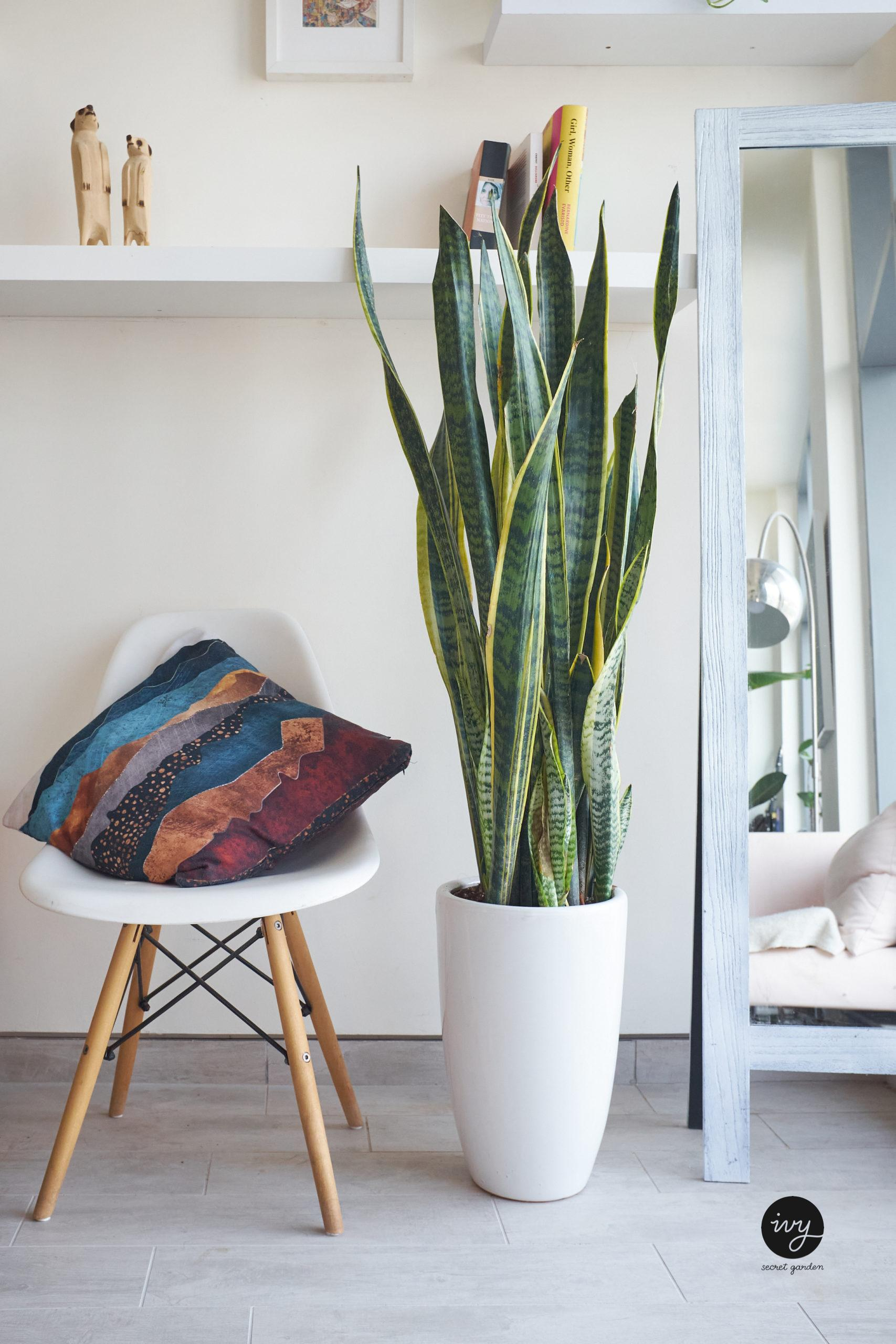 snake plant air-purifying