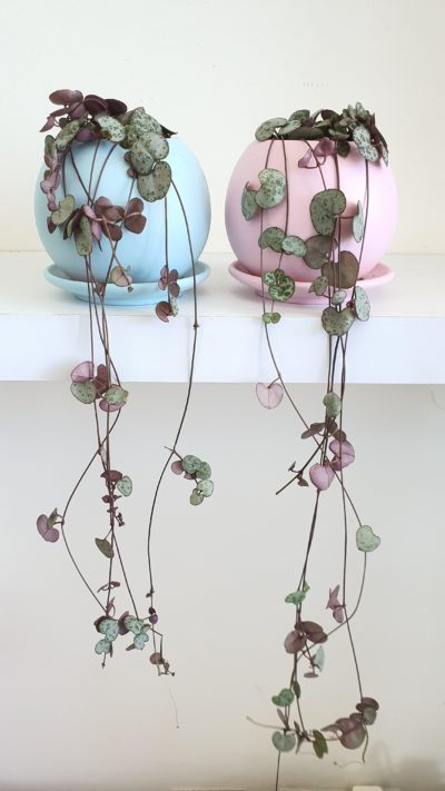 string of hearts - Ceropegia woodii - chain of hearts plant - small