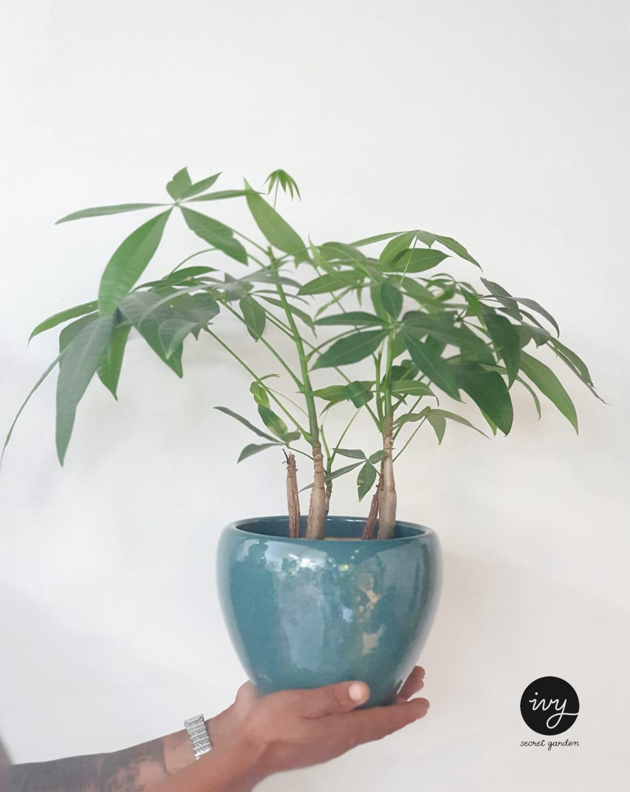 pachira-money tree